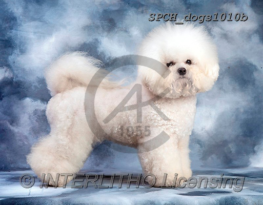 Xavier, ANIMALS, REALISTISCHE TIERE, ANIMALES REALISTICOS, dogs, photos+++++,SPCHDOGS1010B,#A#, EVERYDAY