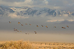 A flock of Canada Geese fly over the autumnal grasses backdropped by the cloud-shrouded Teton Range in Grand Teton National Park, Wyoming.
