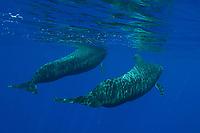 short-finned pilot whales, Globicephala macrorhynchus, Big Island, Hawaii, Pacific Ocean