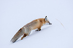 Red Fox (Vulpes vulpes) foraging in deep snow. Hayden Valley, Yellowstone National Park, Wyoming, USA. January.