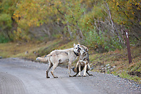 Gray wolf alpha female of the Grant Creek pack interacts with a young wolf along the park road of Denali National Park, Interior, Alaska.