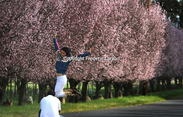 Cherry Blossoms in Napa Valley, CA