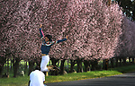 Cherry Blossoms in Napa Valley, CA