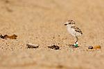 Snowy Plover (Charadrius nivosus) banded chick, Salinas River National Wildlife Refuge, Monterey Bay, California