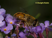 1D03-503z  Hoverfly or Drone Fly collecting nectar and pollen from a flower, Eristalis tenax