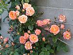 Spice so Nice climbing Rose, Rosa hybrid