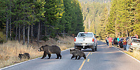 A grizzly bear family crosses the road in front of tourists late in the day. This was photographed from my car.
