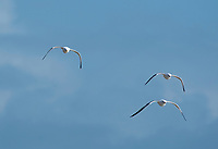 Three Western Gulls, Larus occidentalis, fly along the Pacific Coast in Sonoma County, California