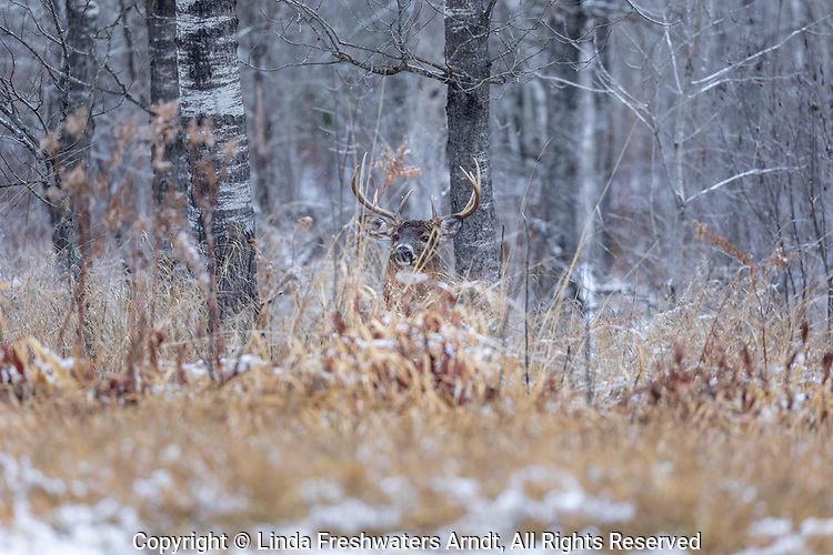 Mature white-tailed buck in northern Wisconsin.