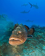 large black grouper, Mycteroperca bonaci, and Caribbean Reef Sharks, Carcharhinus perezi, black grouper can grow up to 1.5 m weighing 100 kg, Grand Bahama, Bahamas, Caribbean Sea, Atlantic Ocean