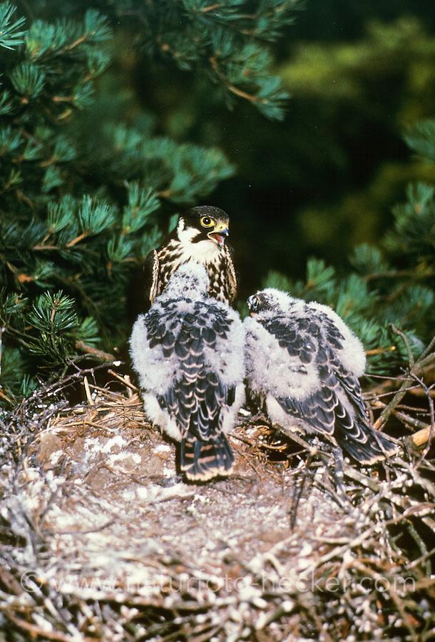 Baumfalke, Altvogel füttert Küken, Jungvogel, Jungvögel im Nest, Horst, Baum-Falke, Falke, Falco subbuteo, northern hobby