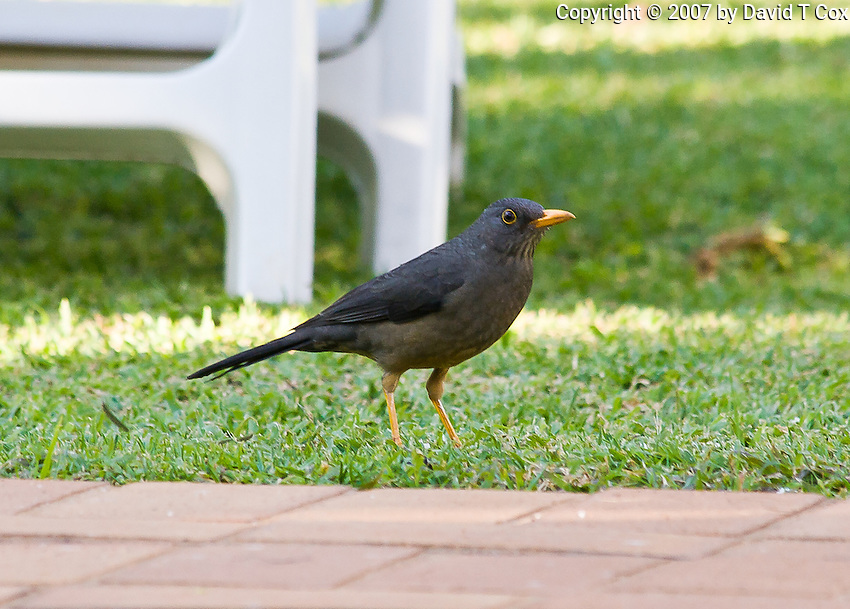 European Blackbird, That's It, Pretoria, SA
