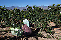 China - Ningxia - A worker harvesting grapes in the Helan Qingxue Vineyard. Located 5 kilometres from the foot of the Helan mountains, the Helan Qingxue Vineyard is one of the oldest and best wineries in Ningxia. Its cabernet sauvignon won the International Trophy at the 2011 Decanter World Wine Awards and was instrumental in giving exposure to the Ningxia wine industry. Helan Quinxue's wines are currently exported to Europe, Singapore and Macau.<br /> <br /> Thanks to its high altitude, arid soil and cool, dry weather, Ningxia has been identified by wine experts as potentially one of the best wine producing regions in the world. The dry weather pro-tects the vines from bacteria and diseases and allows a significant reduction in the use of pestici-des.<br /> <br /> All of the water irrigating Ningxia vineyards comes from the nearby Yellow River, one of China's main sources of freshwater. <br /> <br /> According to international sommeliers, Ningxia wine's specificities are found in its minerality, spi-ciness and floral taste.<br /> <br /> In order to survive the region's frigid winter temperatures, which can drop as low as -27 degrees Celsius, vines are buried in November and unburied in spring. Between 3 and 5 per cent of them perish during this process. <br /> <br /> During harvest time wineries rely on seasonal farm workers. Given the shortage of labour in the region, the local government relocated 120,000 people from the South of Ningxia in order to su-stain the local agricultural industry. Most of the labourers are Hui, an indigenous Muslim minority.