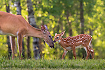 White-tailed doe and her fawn in a northern in a summer meadow.