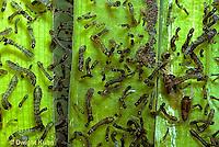 FS02-023b  Black Fly larvae in Maine stream - Simulium vittatum  .