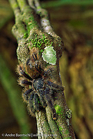 Tarantula (Theraphosidae) resting on a liana in  lowland tropical rainforest, Tambopata National Reserve, Madre de Dios, Peru.