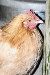 partridge rock chicken medium shot facing right