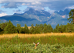White-tailed deer, National Bison Range, Montana