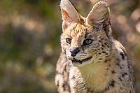 Serval, Felis leptailurus serval, Africa, Southafrica, Tenikwa Wildlife Rehabilitation center,serval