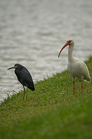 Little Blue Heron (Egretta caerulea) and White Ibis (Eudocimus albus), Windsor, Vero Beach, Florida, US