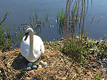 Swan guarding her clutch of eggs on the canal behind the stadium