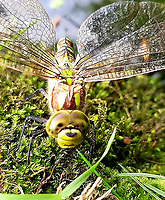 A gardener was left grinning from ear when she caught on camera a dragonfly smiling at her