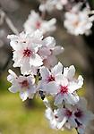 Spanien, Mallorca, bei Es Capdella: Mandelblueten | Spain, Mallorca, near Es Capdella: almond blossom