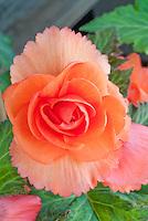 Tuberous begonia Jessica orange flowers