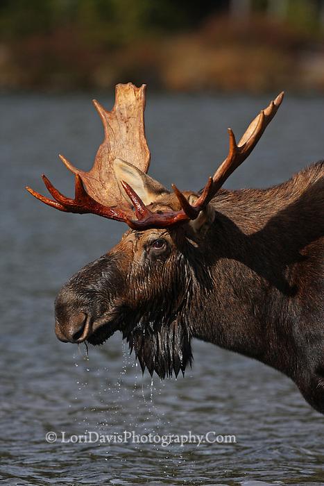 Bull Moose Portrait  #M56