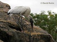 0206-08zz  Wood Stork, Mycteria americana © David Kuhn/Dwight Kuhn Photography