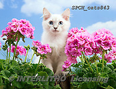 Xavier, ANIMALS, REALISTISCHE TIERE, ANIMALES REALISTICOS, cats, photos+++++,SPCHCATS843,#a#