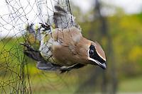 Cedar Waxwing (Bombycilla cedrorum) caught in mist net to monitor fall migration & population trends, Haldimand Bird Observatory, s. Ontario, Canada.