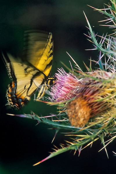Eastern Tiger Swallowtail (Papilio glaucus) on thistle at Tensas National Wildlife Refuge, Louisiana.  April.