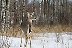 White-tailed deer - yearling in winter