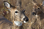 White-tailed doe with her fawn in the background