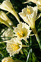Hoop-petticoat daffodil (Narcissus romieuxii). From north Africa.