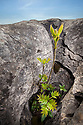 Ash Tree (Fraxinus excelsior) growing in protective gryke in limestone Pavement, Yorkshire Dales, UK. April.