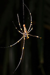 Milne Bay, Papua New Guinea; a very large local spider hanging from a thread of silk, Tawali Resort , Copyright © Matthew Meier, matthewmeierphoto.com