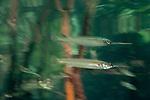 Estuarine halfbeak (Zenarchopterus disper) reflection.