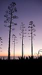 Trees during sunset, Santa Monica, California