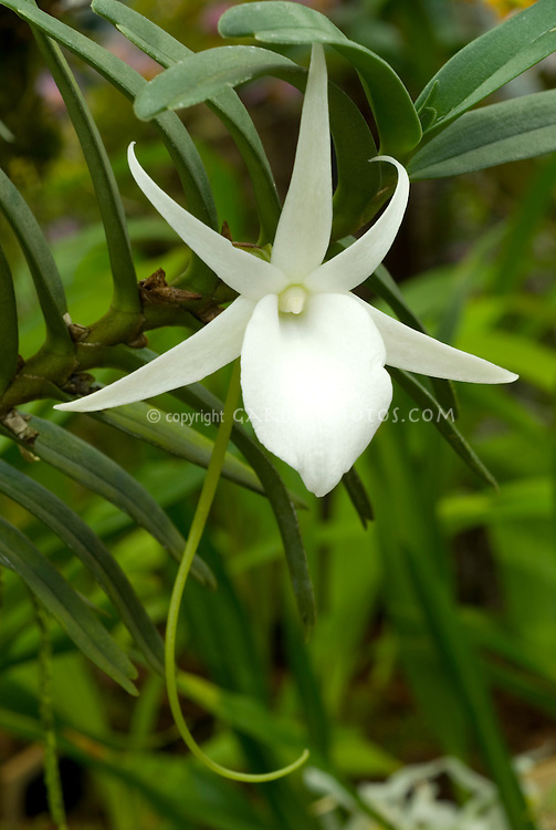 # 24296 Angraecum elephantinum orchid flowers
