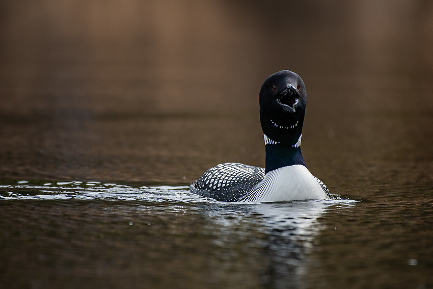 Common Loon (Gavia immer) on a Lake in Southcentral Alaska. Photo by James R. Evans