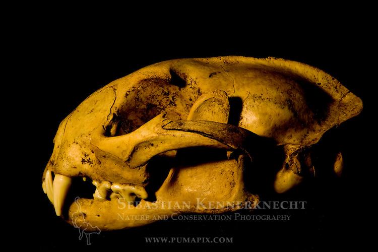 African Golden Cat (Caracal aurata aurata) male skull, Kibale National Park, western Uganda