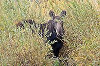Moose, Tetons National Park