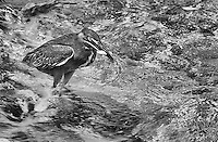 Lava herons are quite small, and often seen scurrying about the beaches and rocky shorelines of the Galapagos Islands.