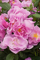 Pink Rose Lucky aka 'Frylucy' 2009 Rose of the Year Portrait