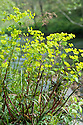 Wood spurge (Euphorbia amygdaloides), banks of River Dart, Devon, late April.