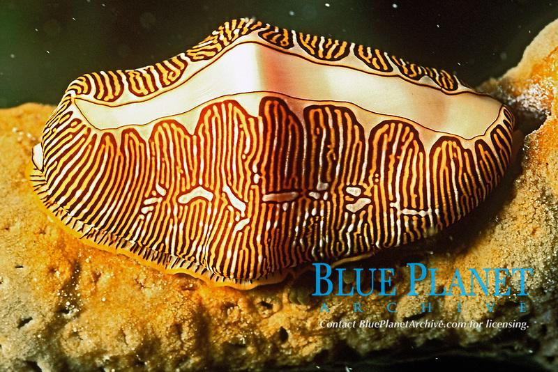 fingerprint cyphoma, Cphyoma signatum, Curacao, Netherland Antilles, Caribbean, Caribbearn, Atlantic Ocean