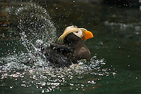 Tufted Puffin (Fratercula cirrhata) bathing--washing feathers