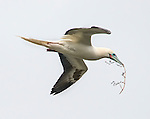 Red-footed booby (Sula sula) in flight carrying nest-building material.